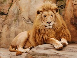 A lion lies on a stone and looks forward.