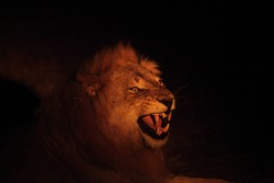 A Lion male (Panthera leo) lying in dry grassland and looking for the rest of his pride in dark night. Lion male is roaring, open mouth, big teeth. Zambia,