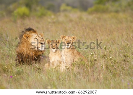 A lion male rests in a grassland with his two young cubs.
