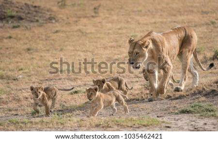 A Lion of the Masai Mara National Park in Kenya. #1035462421