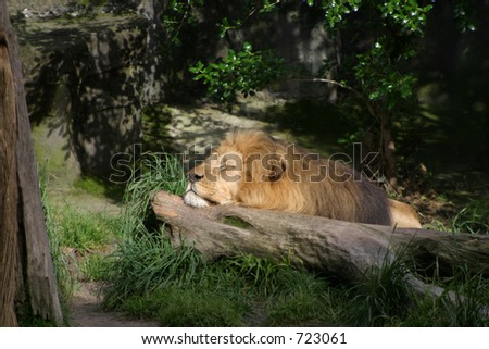 A lion rests at San Francisco Zoo.