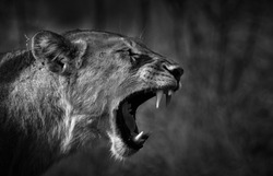 A lion roar showing its teeth and power - side profile - black and white - Greater Kruger National Park - South Africa