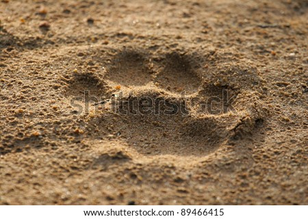 A lion's footprint in the soft sand