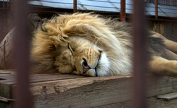 A lion sleeps on a wooden floor behind bars in a zoo cage. Animals in captivity. The thirst for freedom. King of the Beasts