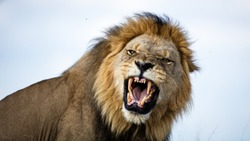 A lion snarls in our direction