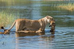 A lioness carries her cub across the dangerous crocodile filled flood channels in the Okavango Delta, Botswana
