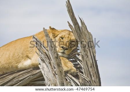 a lioness falling asleep on a dead acacia tree, masai mara