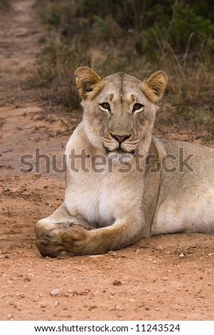 A Lioness is very relaxed in my Company