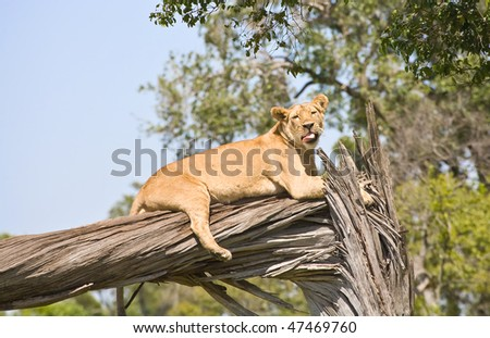 a lioness licking while she rests on a dead tree, masai mara
