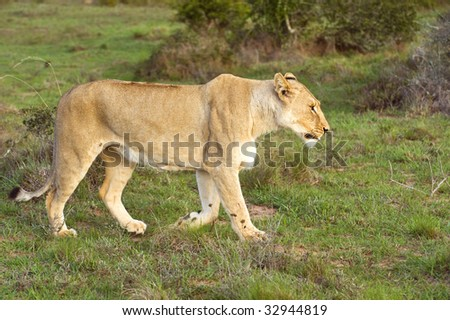 A lioness looking for food out on the African Plains