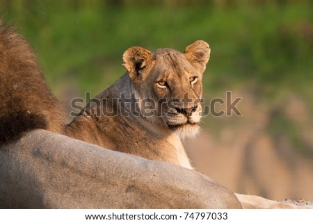 A lioness lying next to her male