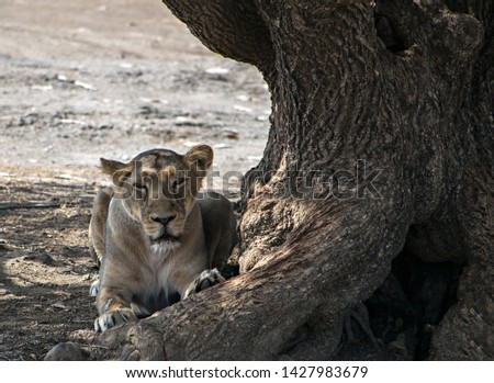 A lioness resting in the shadow of a huge tree in Gir, Gujrat, India.