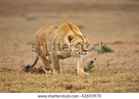 A lioness stalks its supper out on the plains