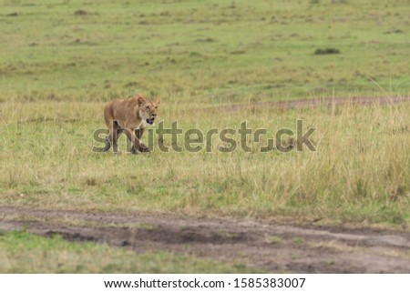 A lioness walking cautiously in the plains of africa inside Masai Mara National Reserve during a wildlife safari