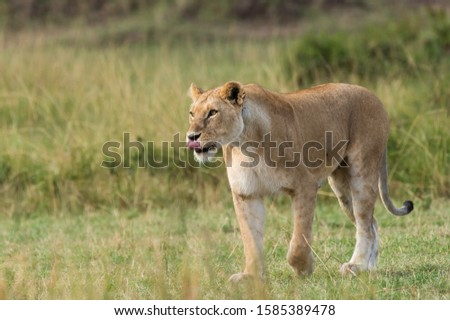 A lioness walking in the plains of africa inside Masai Mara National Reserve during a wildlife safari