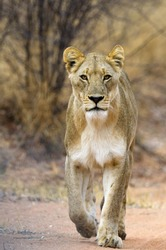 A lioness walks purposefully down a game path in the Dinokeng Game Reserve in the Gauteng Province, South Africa.