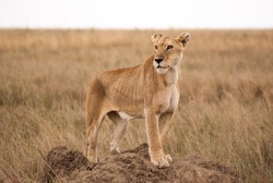A lioness watching over the Seregeti plains, protecting her cubs while the rest of the pack is stalking prey nearby