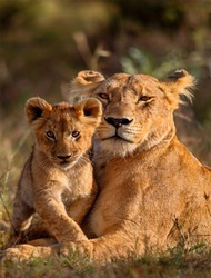 a lioness with a lion cub, If a lion could speak, we couldn't understand him. 🦁