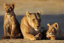 A lioness with cubs (Panthera leo) in early morning light, Kalahari desert, South Africa