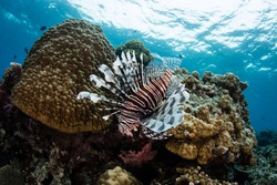 A Lionfish (Pterois volitans) hunts for prey on a reef in Fiji.
