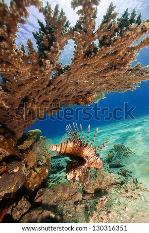 A lionfish swims underneath a table coral on a reef