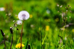 a littele white dandelion in the green meadow with flowers and grass