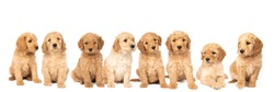 A litter of cute labradoodle puppies sitting looking at the camera isolated on white background with space for text