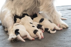 A litter of little dog breed. Newborn dogs puppies - 2 days old - Jack Russell Terrier doggies  drinking milk on her mother