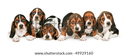 A litter of six week old Basset Hound puppies lined up in a row
