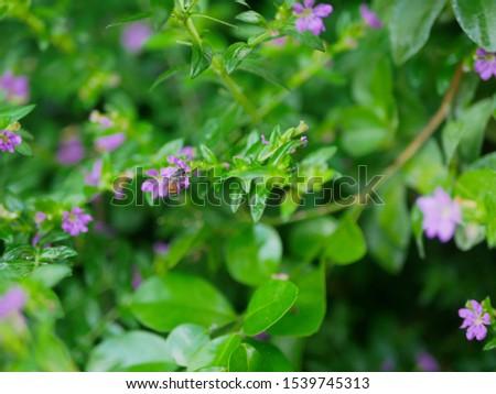 A little bee on a small evergreen shrub - Cuphea Hyssopifolia, the false heather, Mexican heather, Hawaiian heather, or elfin herb #1539745313