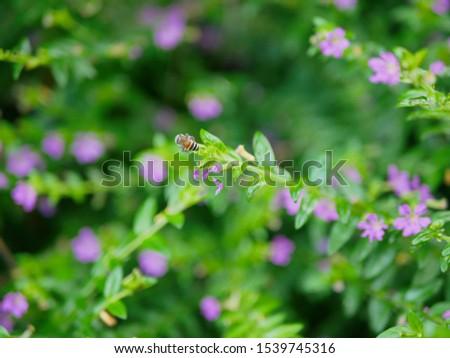 A little bee on a small evergreen shrub - Cuphea Hyssopifolia, the false heather, Mexican heather, Hawaiian heather, or elfin herb #1539745316