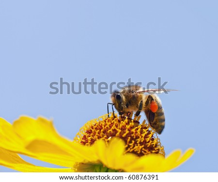 A little bee on a yellow flower