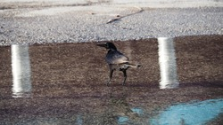A little bird wandering on the wet asphalt