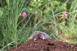 A little black mole that came out of its hole in the garden