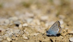 a little blue butterfly, a blue one, sits on the ground, between little stones and rests