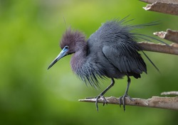 A little blue heron in Florida