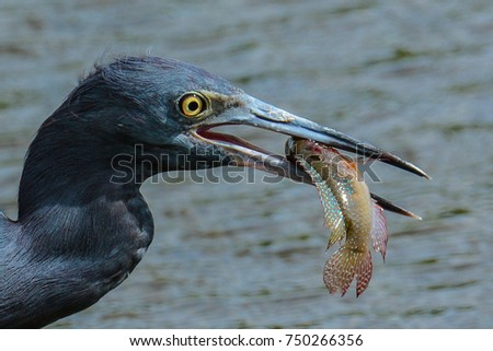 A little blue heron with a fish it has caught still moving in its open beak - Shutterstock ID 750266356