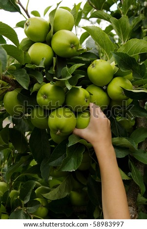 A little boy's hand picking green apples