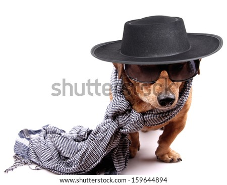 a little brown dog and hat - stock photo