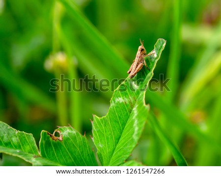 A little brown grasshopper resting on a half eaten clover leaf.
