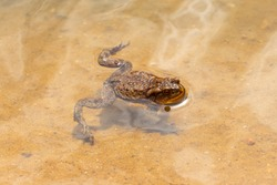 A little brown toad swimming in the pond on a sunny day