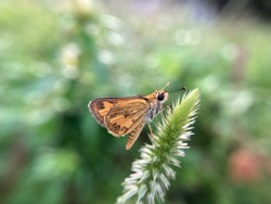 a little butterfly  named large skipper perched on a wild flower