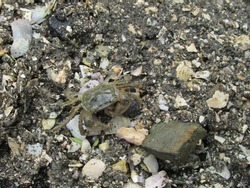 A little camouflaged crab scuttling across the wet sand full of shells and rocks on an urban Auckland beach in New Zealand.