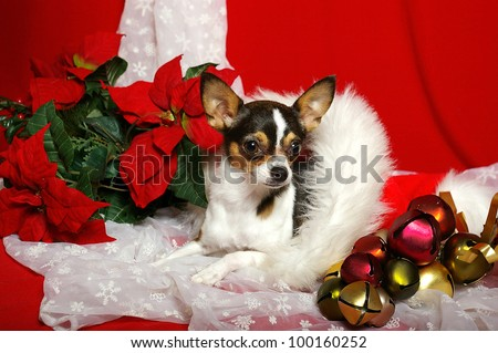 A little Chihuahua lays in a Santa hat surrounded by Christmas bells, snowflake lace, and red poinsettias
