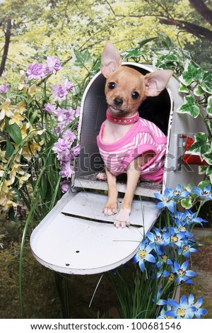 A little chihuahua puppy wearing a pink striped shirt sits in an open mailbox in a flower garden
