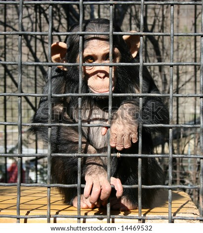 A little chimpanzee behind bars in a big city zoo