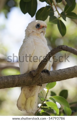 A Little Corella (Cacatua sanguinea) resting in the shadows on a tree during midday heat.