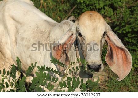 a little cow