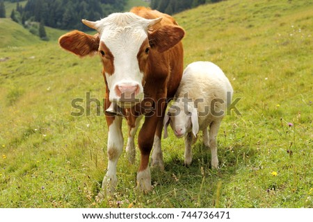 a little cow and a sheep are best friends #744736471