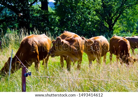A little cow Herd on a meadow in Bavaria, Germany #1493414612